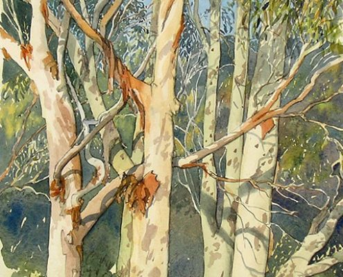Lemon scented gums